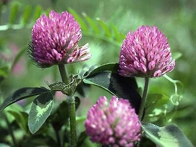 Red Clover Seeds - Bulk Grass - Easy to Grow!! - GMO FREE, ORGANIC- 1 lb. Seeds