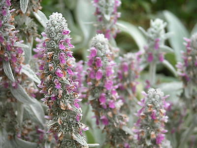 Lamb's Ear (Stachys) Seeds - Wooly Tongue Shaped Foliage - Heirloom - 20+ Seeds