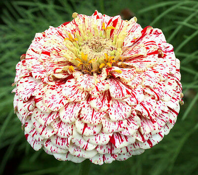 Zinnia Seeds - CANDY CANE VARIETY - Deer Resistant - Drought Tolerant- 25 Seeds