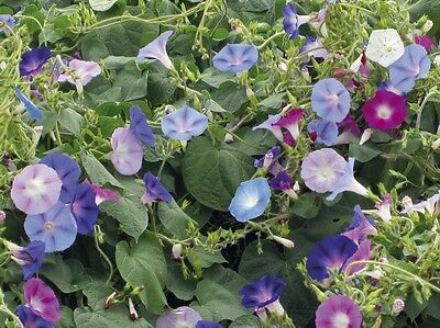 Morning Glory Seeds * Mixed * Indigo, Maroon, White and Mauve Blooms * 25 Seeds