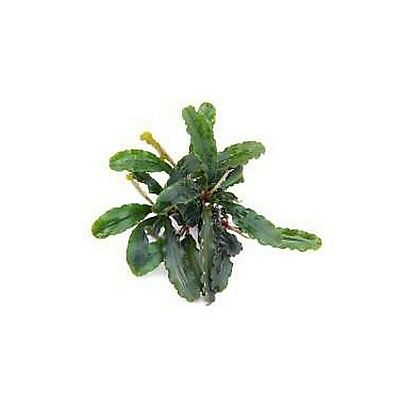 Bucephalandra spec. - Wavy Leaf, Aquariumpflanze Aquascaping Nano