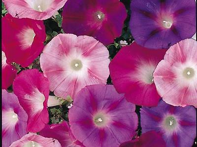 Morning Glory Seeds * EARLY CALL MIXED * Large Trumpet-Like Blooms - 25 Seeds