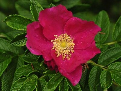 Rosa rugosa - Japanese Rose - 50 Fresh Seeds