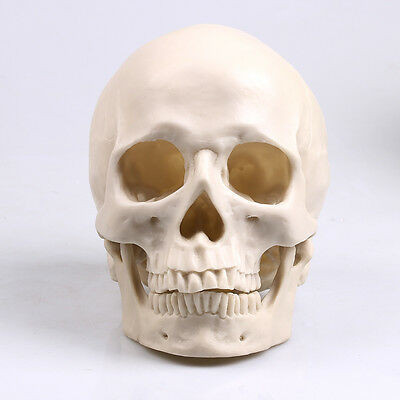 Nice White Human Skull Replica Resin Model Medical Realistic lifesize 1:1