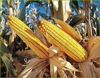 Grazing Corn Seeds - Livestock & Small Pet- Feed - theseedhouse - 1000 Seeds