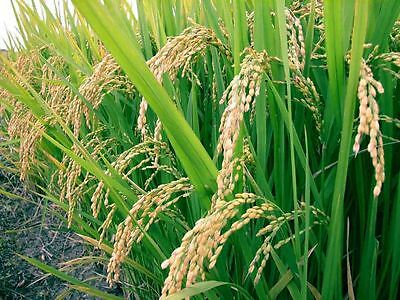 White Basmati Rice Seeds - Grow Your Own - theseedhouse - GMO FREE - 200 Seeds