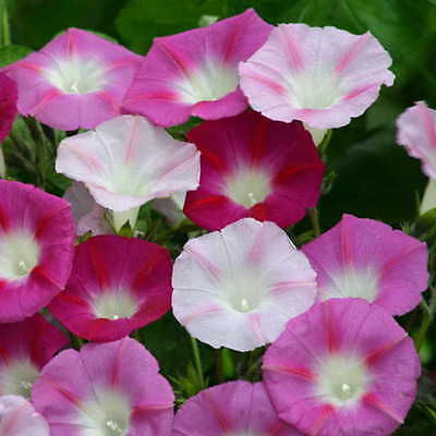 Morning Glory Seeds - MIXED VARIETY - Canadian Climbing Vine - Bulk - 200 Seeds