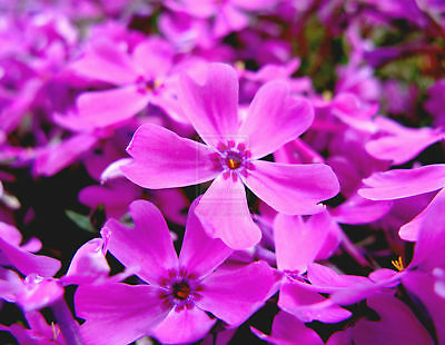 Mountain Phlox Seeds - Hardy Flowering Perennial - theseedhouse-Bulk- 200+ Seeds