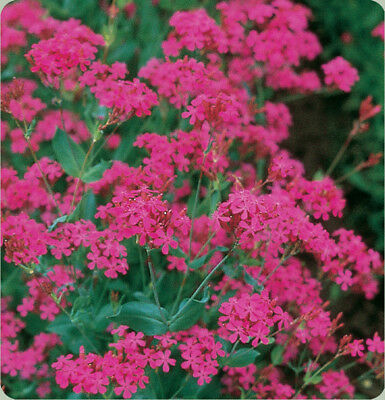 Catchfly Seeds - Attractive Tiny Bold Pink Flowers - Bulk - Canada - 50 Seeds