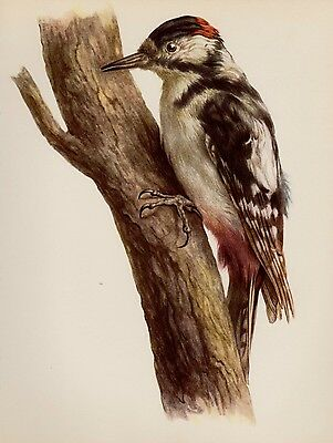 Vintage Spotted WOODPECKER Print Gallery Wall Art Cabin & Lodge Decor (faf) 1636