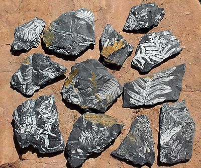 12 Fossil Fern Chips, Alethopteris sp.  Llewellyn Formation, Carboniferous Age