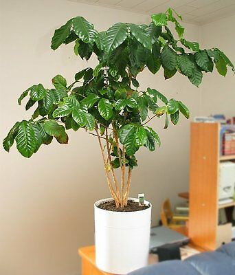 Coffee Plant Seeds -COFFEE ARABICA -Tropical Plant - One Pound of Seeds - Canada