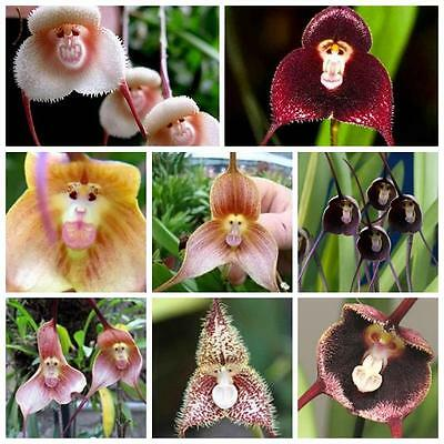 50PCS Rare Monkey Face Orchid Seeds Beautiful Plant Home Garden Flower Plants WS