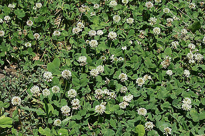 White Dutch Clover - Attracts and Nourishes Beneficial Insects - 500+ Seeds