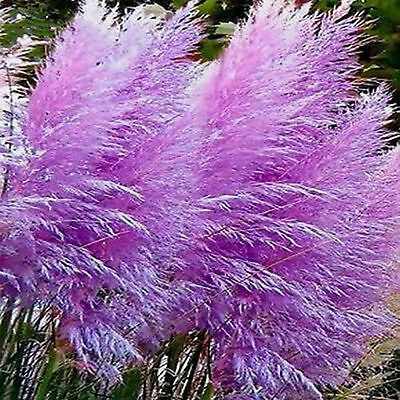 Ornamental Grass Seeds - PURPLE FEATHER PAMPAS - Great Dried Decor - 20 Seeds