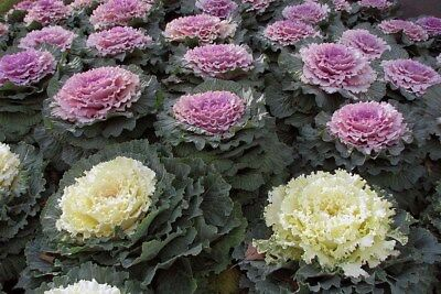 Kale FLOWERING 30 Seeds FRINGED LEAVED MIXED rosette WHITE violet PINK purple