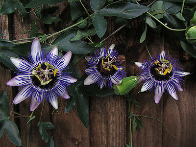 Passiflora Seeds - SILLY COW - Climbing Vine Tropical - HYBRID - 10 Seeds