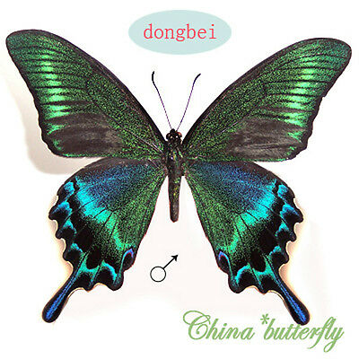 unmounted butterfly papilionidae Papilio maackii SUMMER FORM  A1-