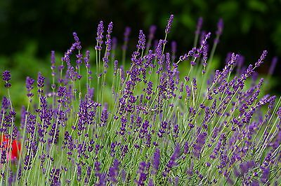 Lavender TRUE ENGLISH ( lavandula vera ) 50 seeds perennial SHRUB herb