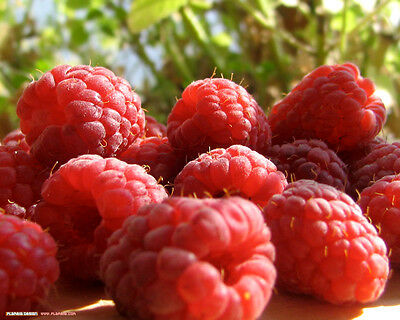10X Large Tall Raspberry Tulameen - Fruit Plants
