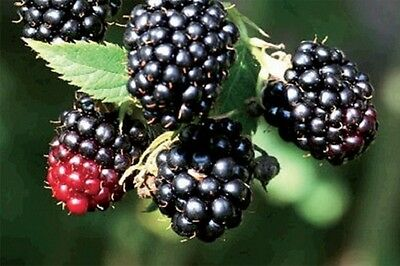 1X 3-4Ft Large Blackberry Black Satin Thornless Fruit Plant - 3L Potted