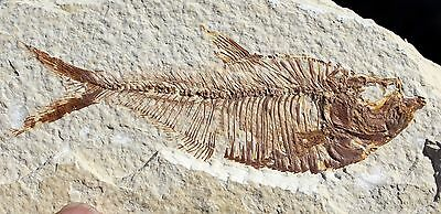 Fossil Fish from Wyoming • Diplomystus dentatus #13 • 4.25 inches