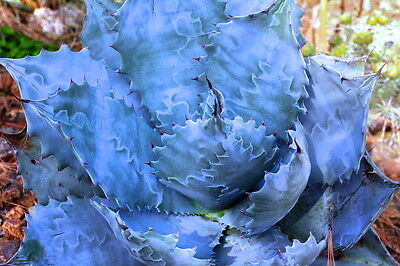 10 Agave colorata (SUPER BLUE) semi seeds SUCCULENT CACTUS no variegated