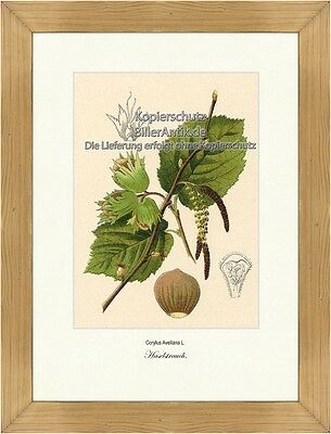 Haselstrauch Corylus Avellana Haselnussgewächse Betulaceae Vilmorin A4 388 • EUR 24,80