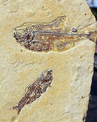2 Fossil Fish from Wyoming • Large Diplomystus & Knightia • Excellent Preservati