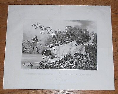 1828 Antique Print of Newfoundland Dog by Newton Fielding - English Sporting Art