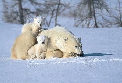 Time Out by Art Wolfe Art Print Poster - Polar Bear Arctic Wildlife Decor 11x14