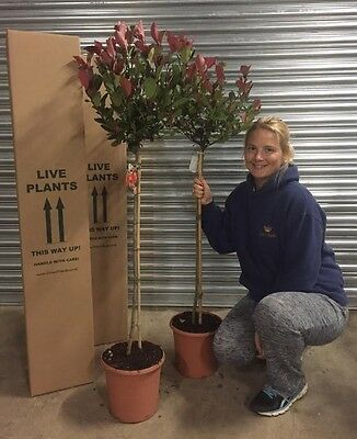 2X 4FT+ / 130cm MATCHING STANDARD PHOTINIA LITTLE RED ROBIN TREES EVERGREEN 7.5L