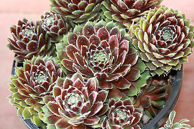 Succulent Seeds - HENS & CHICKENS MIX -Great Potted Plant, Rock Garden- 50 Seeds