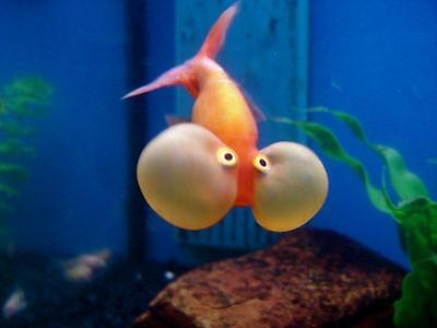 Live Cold Water Fish for Sale - Bubble Eye Goldfish