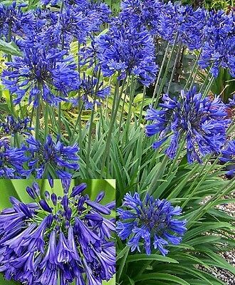 3X Agapanthus Blue Perennial Plants - African Blue Lily - P9 Potted