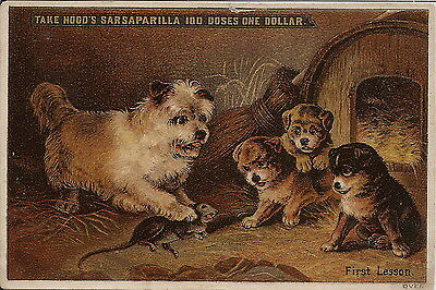 Terrier Ratting With Pups Hoods Sarsaparilla Trade Advertising Card