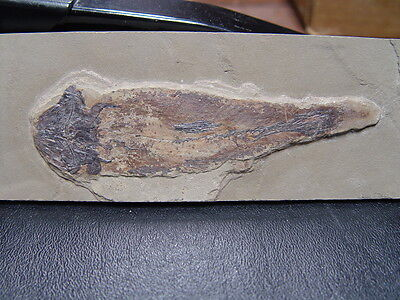 GEOLOGICAL ENTERPRISES Bear Gulch COELACANTH CARDIOSUCTOR POPULOSUM   RARE