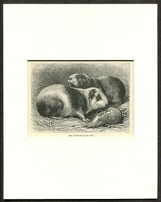c1895 Antique Print of Guinea Pigs
