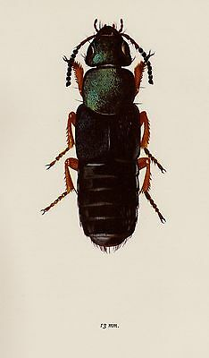 Antique BEETLE Print ROVE Beetle Art Insect Print Gift for Insect Lover 1802