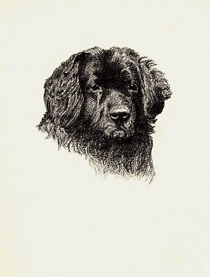1935 Antique NEWFOUNDLAND Dog Print Gallery Wall Art Gift for Dog Lover CFW 1814