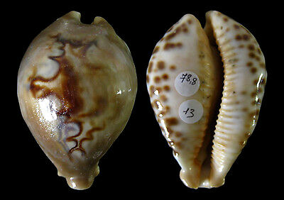 Conchiglia Shell CYPRAEA FULTONI Mozambico 78,8 mm # LARGE, FROM OLD COLLECTION