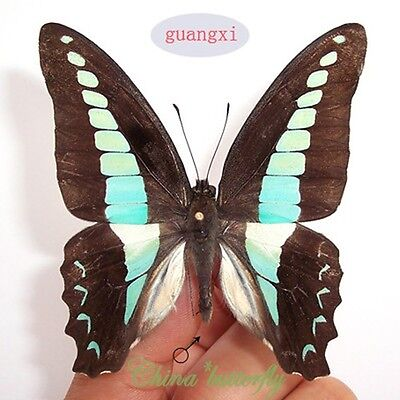 green unmounted butterfly Graphium sarpedon  materials artwork  A1
