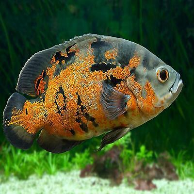 Live fish fish aquarium pet supplies 2 589 items for Live fish for sale online