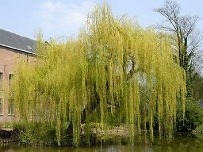 3X 6Ft Extra Large Golden Weeping Willow Trees - Salix Chrysocoma - Potted