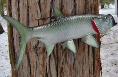 "Tarpon Taxidermy Quality 18"" Wall Mount"