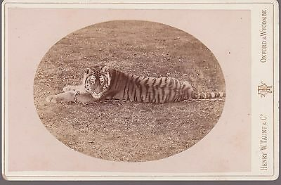 Vintage Cabinet Card Of A Tiger By Henry W Taunt