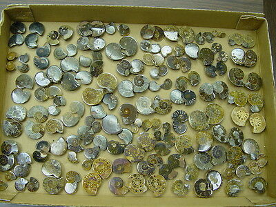 Geological Enterprises Cretaceous Fossil Ammonites 5 Pair Sliced And Polished