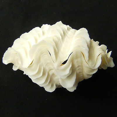 1 Pair Tridacna Squamosa Fluted Giant Scaly Clam Seashell 13cm FreeShipping 286a