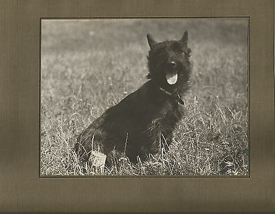 Large Mounted Scottish Terrier Real Photograph
