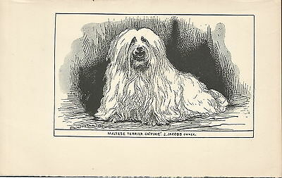 Named Maltese Terrier Dog Early 1900's Dog Print